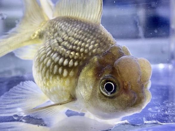 ◆金魚が身体をこする理由とは。速やかな対応や飼い方のポイント