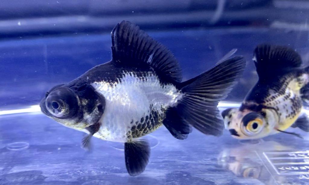◆金魚を購入したら3日間エサをあげない?夏場の飼い方に反省点。