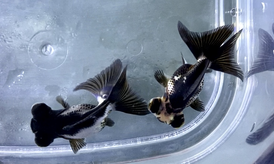 金魚がなつく行動?人に良く懐かせる方法とは。品種による差は?