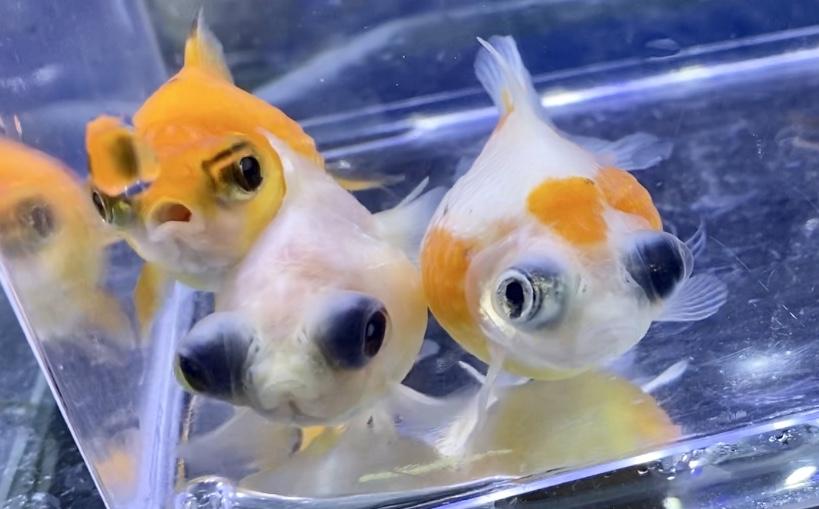 ピンポンパールに似ている金魚たち。その通販を含めた販売や価格帯とは