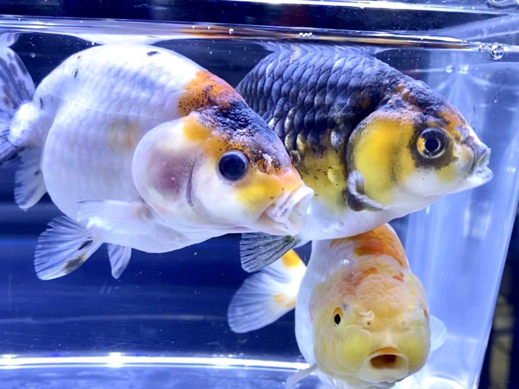 ◆ランチュウ3種(江戸錦、更紗、トリカラー)が到着直後にロス・・・その原因と今後の対策とは。【金魚】