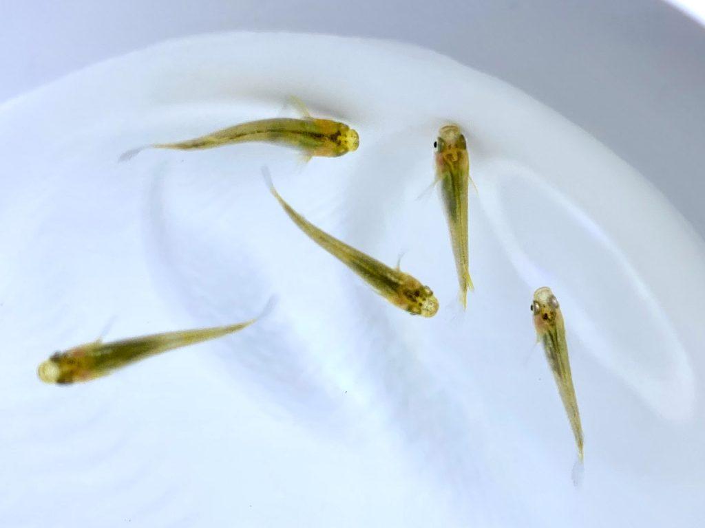 【めだか】黄金透明鱗メダカ(おうごんとうめいりん)の特徴・飼い方や通販を含めた販売や価格帯とは