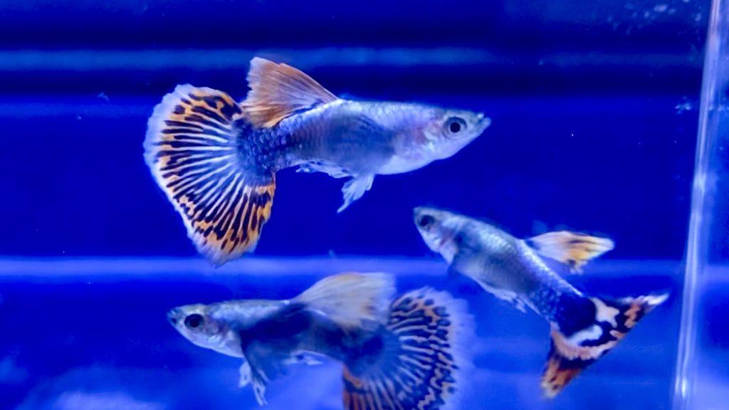 【熱帯魚】プラチナモザイクダンボグッピー外国産の飼育や通販を含めた販売や価格帯とは
