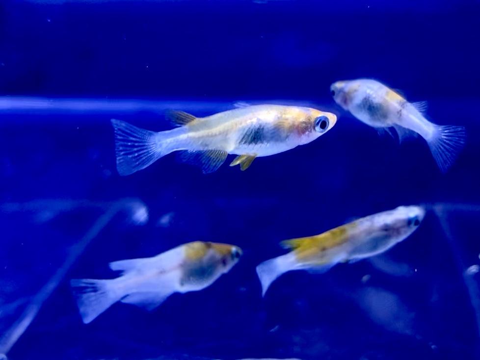 【めだか】雲州三色(うんしゅうさんしょく)の飼育や通販を含めた販売や価格帯とは。【非透明三色メダカ】