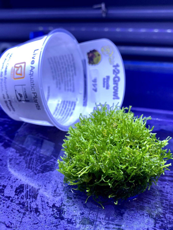 【水草・レイアウト】リシアの育て方や通販を含めた販売や価格帯とは。【トロピカ社1-2-Grow】Riccia-fluitans-