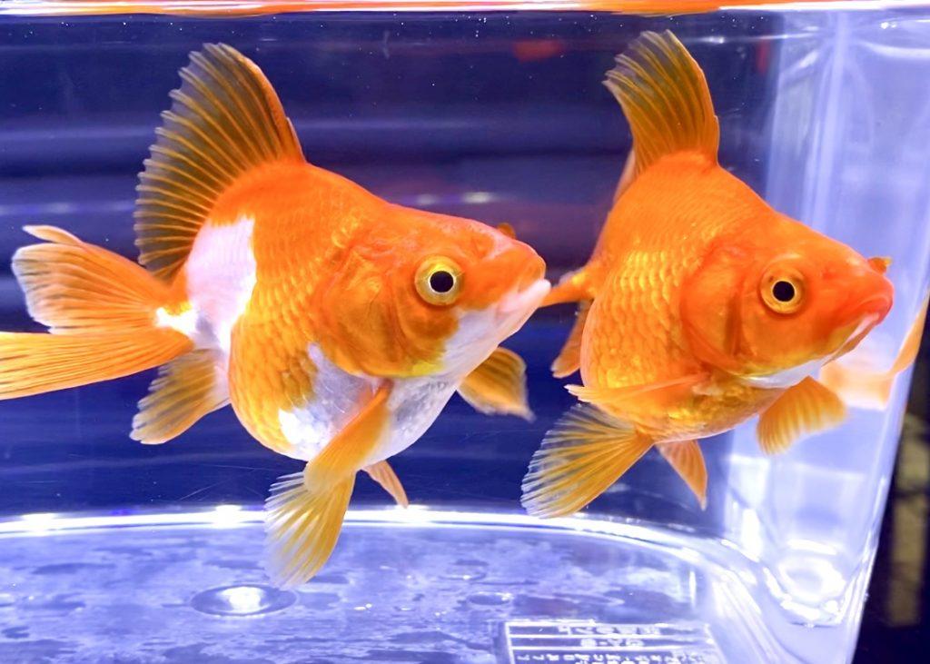 【金魚】これくらいの大きさ飼いやすい。飯田更紗琉金、更紗オランダMサイズ