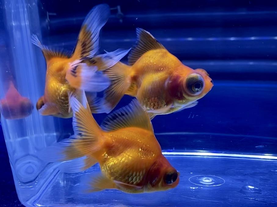 地面にエサが積もっていると金魚は死んでしまう…忙しくて水換えできない時の対処【飼い方】