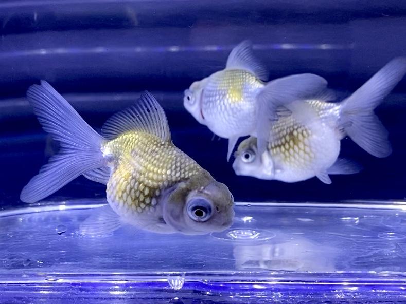 【金魚】穂竜(ほりゅう)の飼い方や通販を含めた販売や価格帯とは