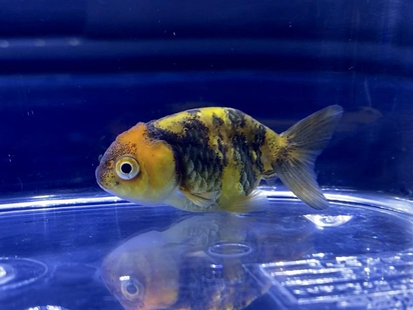 【金魚】タイガーランチュウの飼い方や通販を含めた販売や価格帯とは。虎蘭鋳。よく見たらエラ蓋(えらぶた)が無い…なるべく購入は避けましょう。