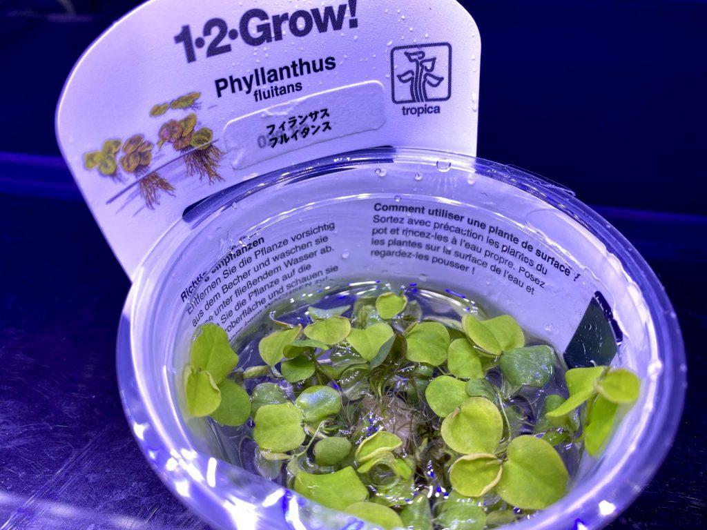 【水草・浮草】フィランサス・フルイタンス(Phyllanthus fluitans)の育て方や通販を含めた販売や価格帯とは。メダカにも人気で越冬は不向き。