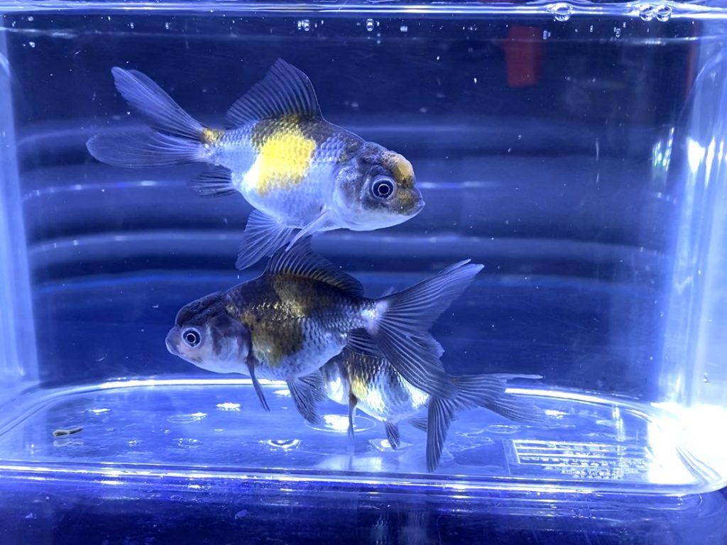 ◆金魚のロス減らしたい。