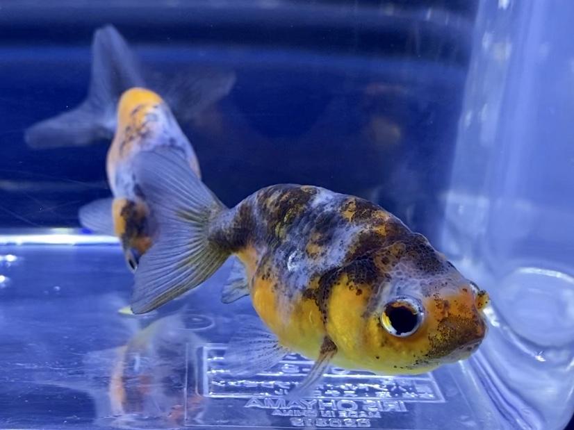 ホームセンターは便利!知らない魚病薬のルールや急なトラブルに【金魚・アクアリウム】