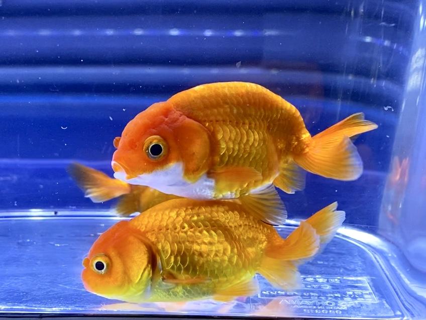 【金魚】志村養魚場産らんちゅうの飼い方や通販を含めた販売や価格帯とは