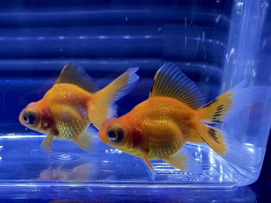 ◆もみじ出目金【紅葉】の飼い方や通販を含めた販売や価格帯とは【金魚飼育】
