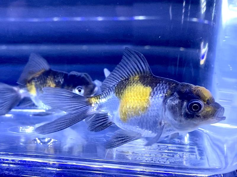 【金魚】孔雀オランダの飼い方と通販を含めた販売や価格帯とは【くじゃく】