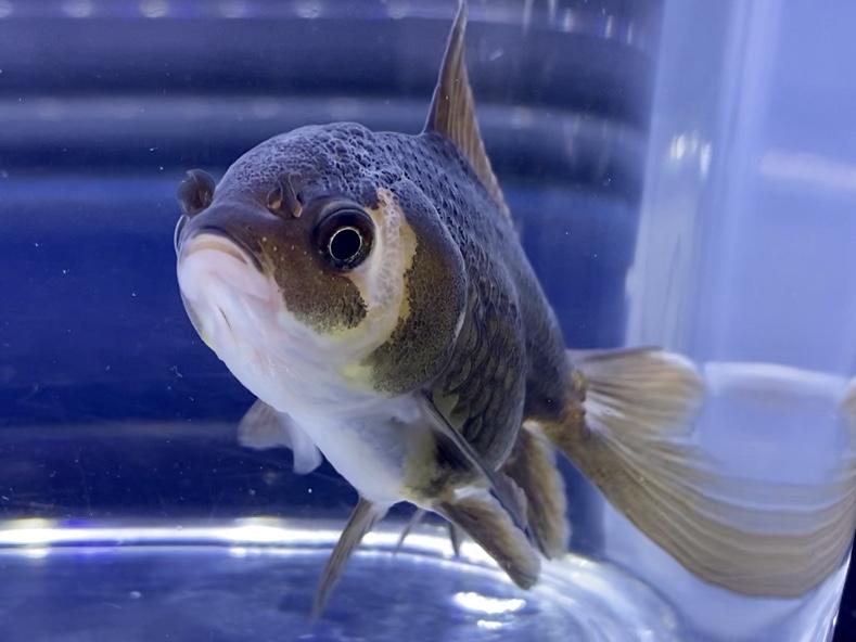 【金魚】1日に10℃以上の水温変化を防ぐ。日頃の飼育管理や白点病に注意する