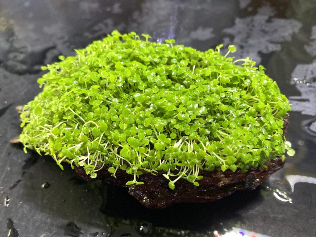 【水草】ベビーリーフハイグロ流木の育て方や通販を含めた販売や価格帯とは