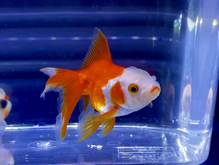 金魚の平均寿命とは。老いを感じる?何年くらい生きるのか。