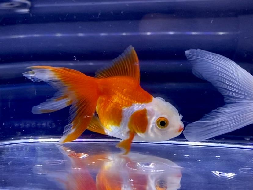 【金魚】いじくらない水槽って強い。飼い方は自由で正解も変わるもの。