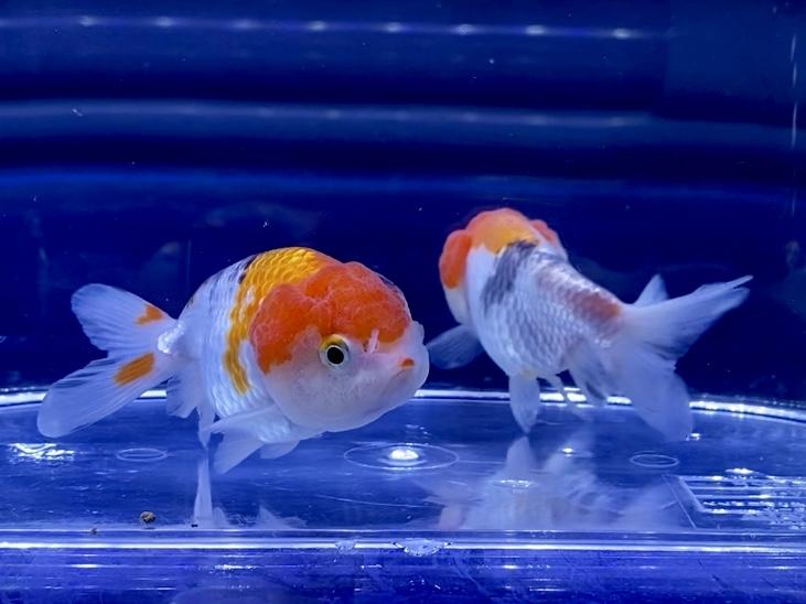 金魚にコケ取り用の生体は入れる方法?混泳NGな組み合わせとは。