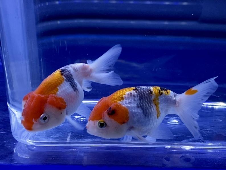 金魚飼育にフタは必要なのか?飛び出し防止以外のメリットデメリットとは。
