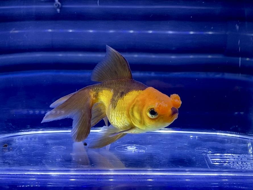 【金魚】変わった色味の茶金花房(チャキンハナフサ)の飼育や通販を含めた販売や価格帯とは