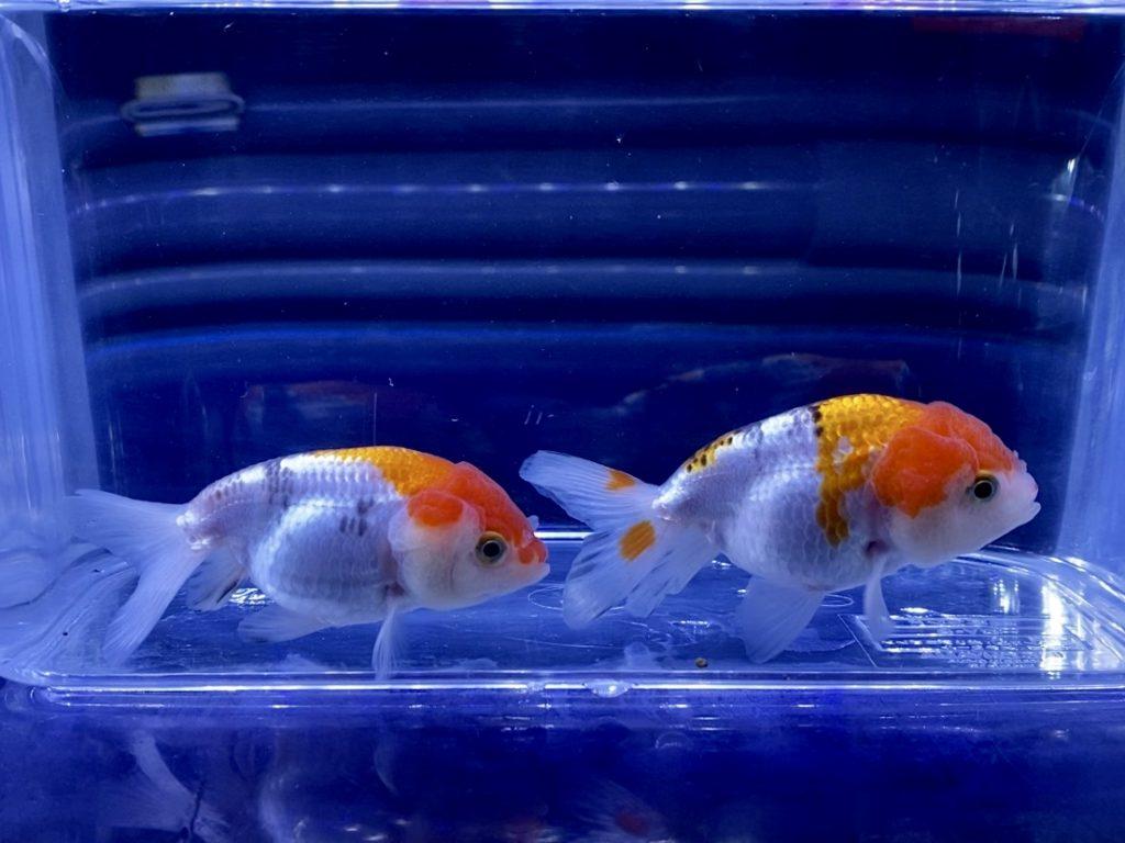 金魚の水換え頻度とは?