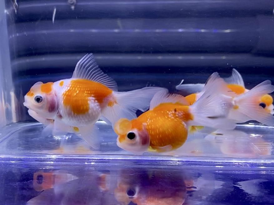 金魚の『血管が浮き出る』身体や尾鰭の『充血』原因や治療とは。