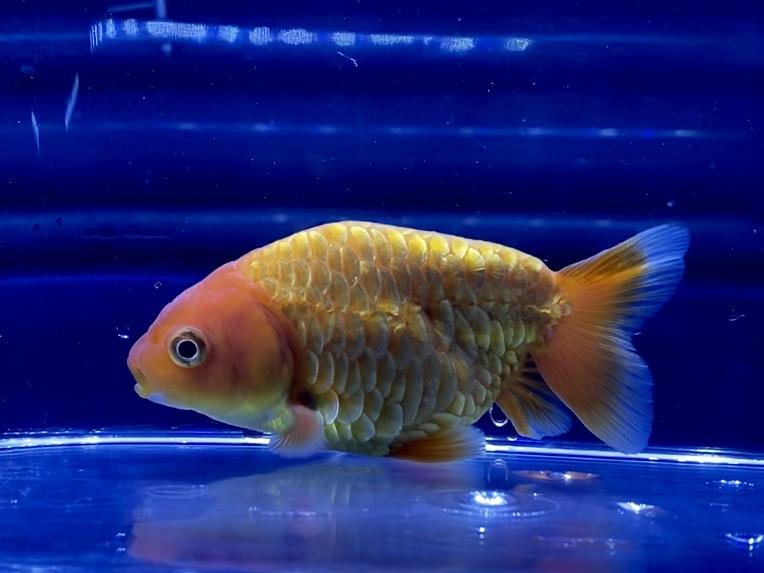 【金魚】龍鱗らんちゅう【薩摩養魚場】ドラゴンスケール、りゅうりん通販を含めた販売や価格帯とは