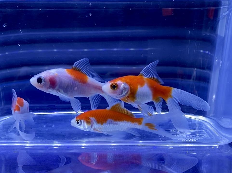 和金と一緒に飼える人気の品種ベスト5とは。混泳のおすすめ【金魚】