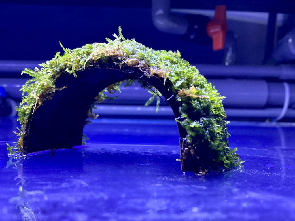【水草】南米ウィローモス付きココナッツ殻アーチの育て方