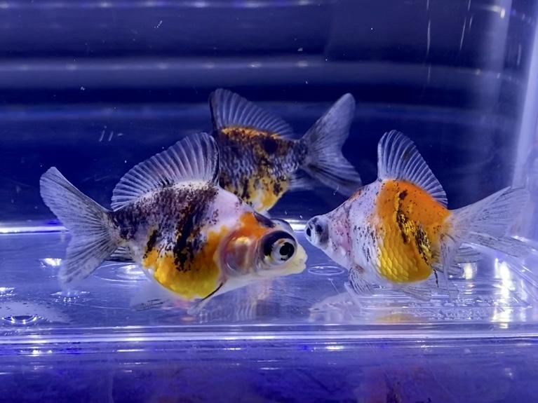 【金魚】キャリコ出目金ショートテール。目の大きさも個体差。取れてしまうことも…