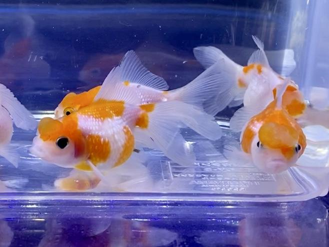 金魚の飼育が難しいと言われる訳。初心者が注意するポイントとは。