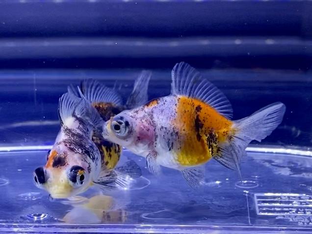 金魚の塩浴パート② 塩浴の期間や塩の種類とは?濃度は何がちがうのか?【塩分濃度調整】