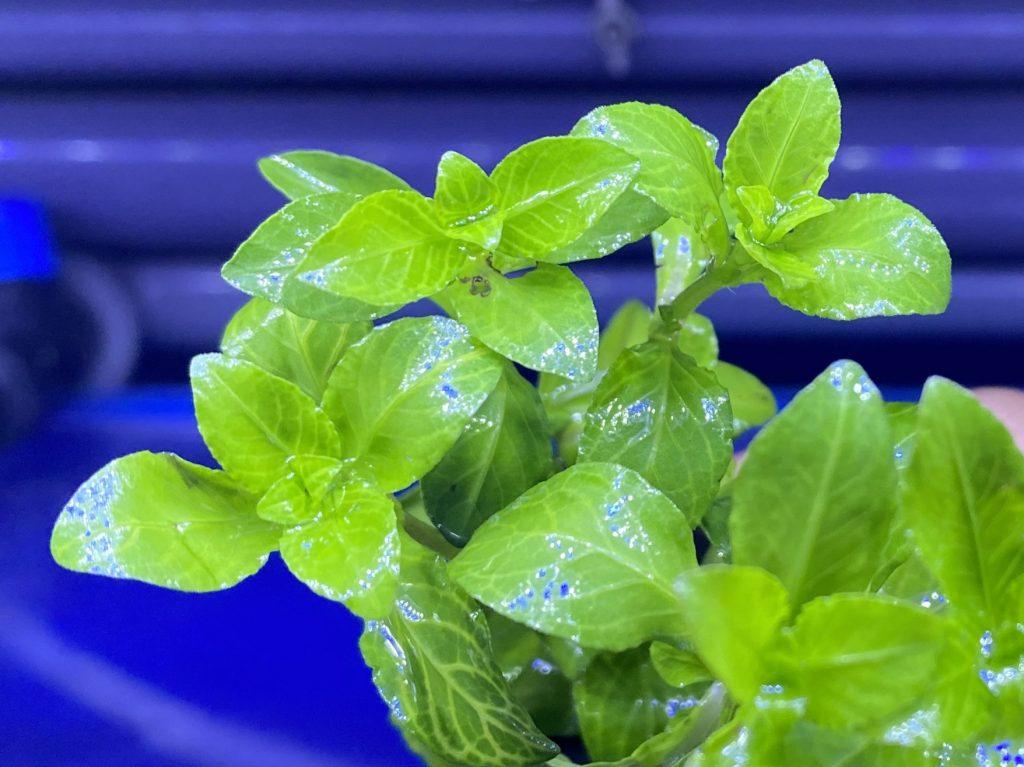 有茎草付き流木とは。切り株のような可愛らしい無農薬水草のシリーズ。ハイグロフィラ・ロザエネルビス