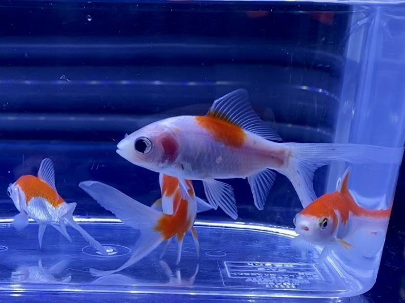 金魚の色が薄くなる3つの原因とは。病気の見分け方や濃くする対処方法。
