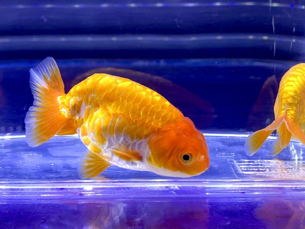 金魚の塩浴パート③塩浴中の餌やり、戻し方とは。バクテリアへの影響?デメリットと薬の相乗効果など。