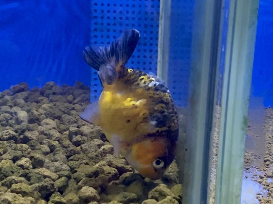 金魚が頭を下にして泳ぐのは状態…逆立ち泳ぎとは?【飼育・病気治療】