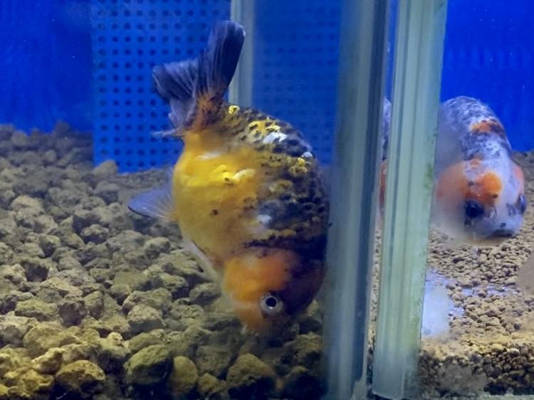 金魚の白点病かコショウ病(ウーデニウム病)か分からない時とは。