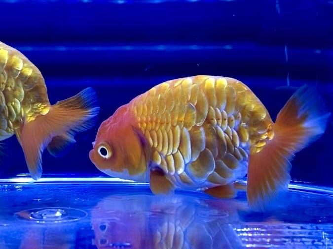 金魚を長生きさせるコツ方法とは。らんちゅうは短命?