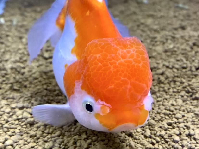 【金魚】こんな季節にもイカリムシ現る。薬で治ることがモチベーション。