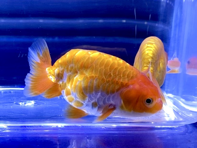 買ってきた金魚が白点病気だった時や、購入した次の日になってしまったら・・・