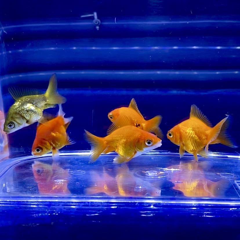 金魚を酸素なしで飼う方法?金魚鉢・睡蓮鉢は?水草で酸素補給は?