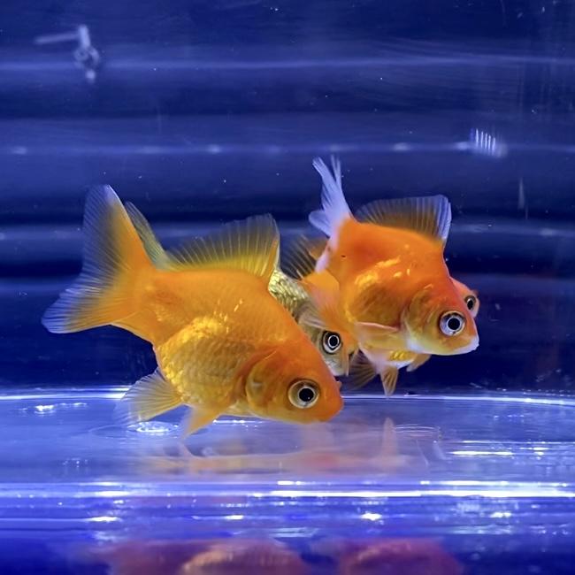 【金魚】だるま琉金が上手く飼えない時の注意点やポイントとは。