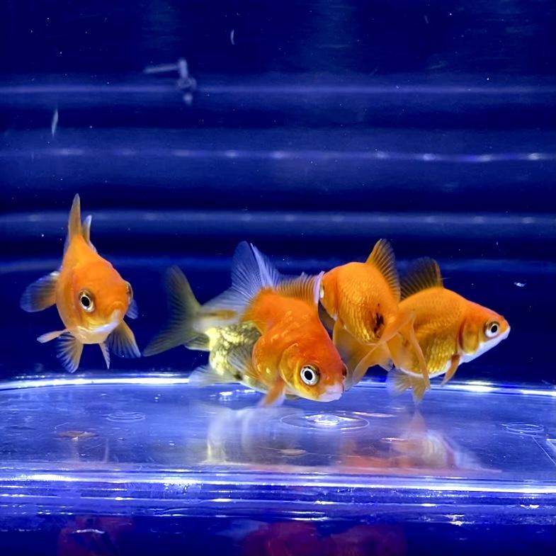 金魚の冬の飼い方。お部屋での注意点とは。