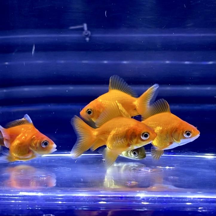 金魚が暴れるように泳ぐ?奇行の原因や対処方法とは。病気?飼い方の注意点など。