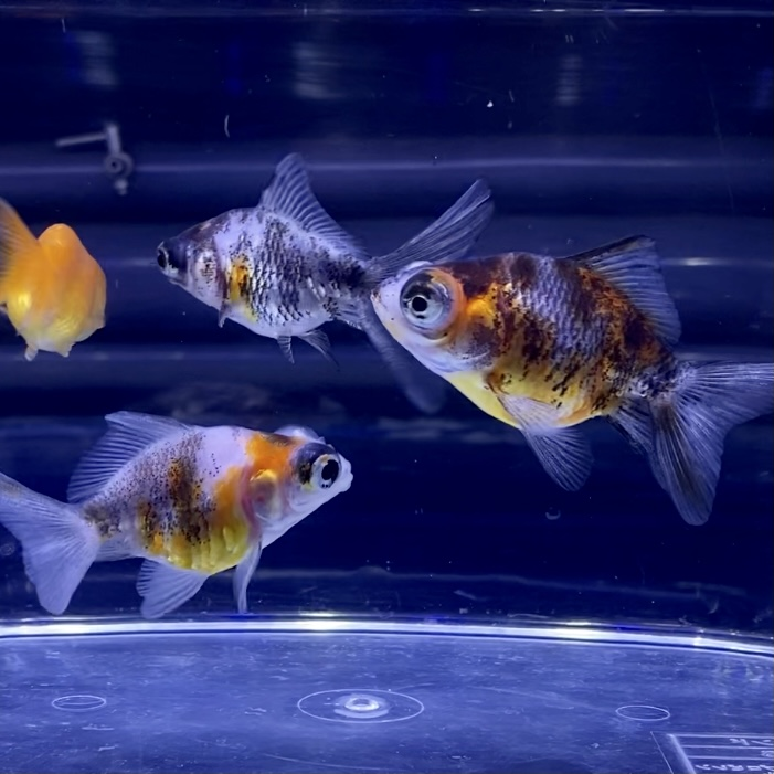 金魚とスポンジフィルターの相性は?