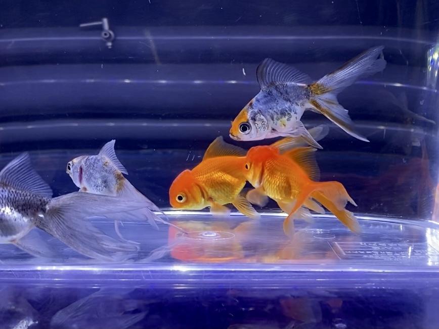 ありがちなオランダ獅子頭と東錦の混泳【金魚】