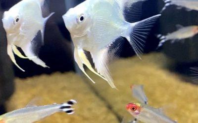 熱帯魚の水槽の立ち上げと混泳のサイズ感