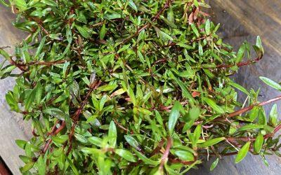 ADA詫び草もディスプレイクーラーで管理。室温15℃設定で状態良くキープする